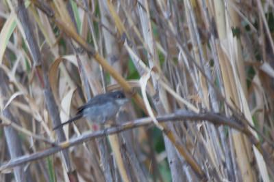 Sardinian Warbler - Record - Gibraltar, UK