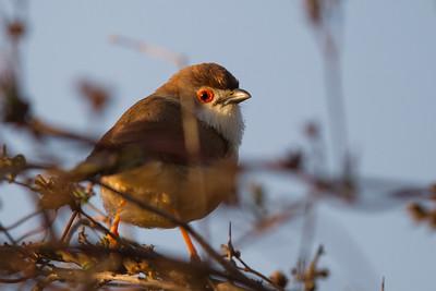 Yellow-eyed Babbler - Near Koradi, Nagpur, India