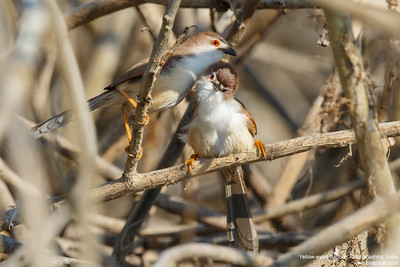 Yellow-eyed Babbler - Maharashtra, India