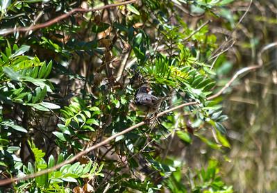 Sardinian Warbler (male)