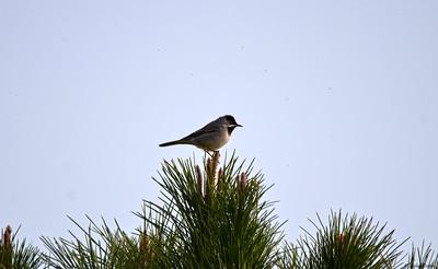 Rüppell's Warbler (male)