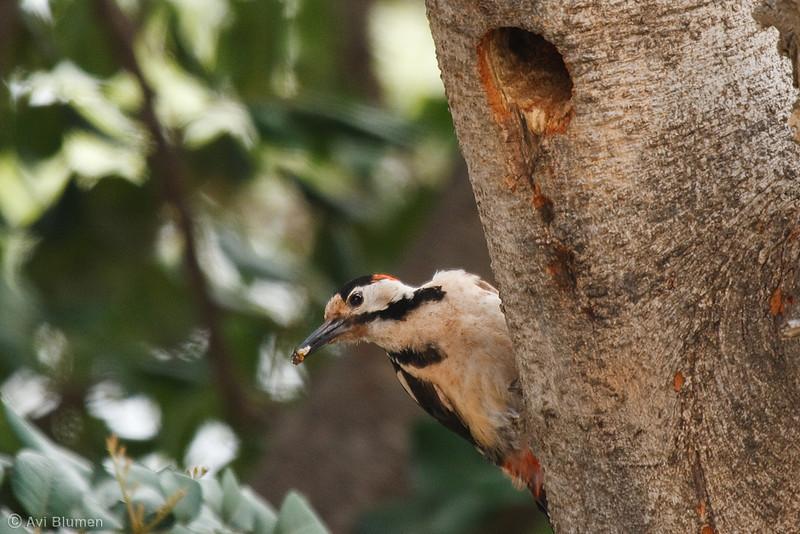 male<br /> זכר בפתח הקן