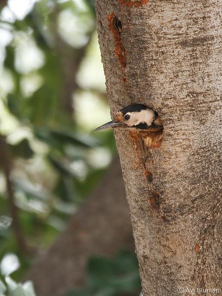 female<br /> נקבה בפתח הקן
