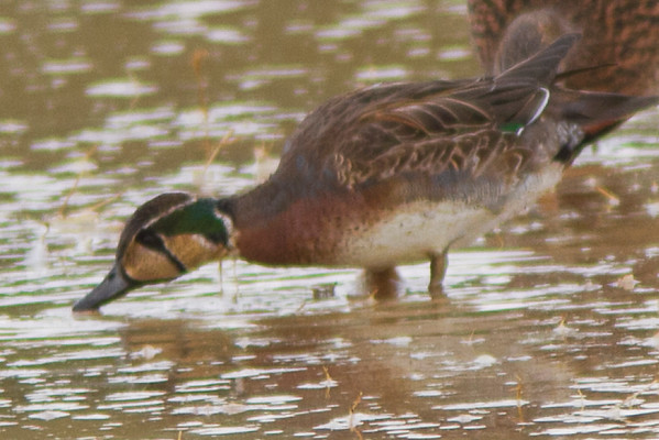 A rare visiting (maybe lost) Teal from Siberia.