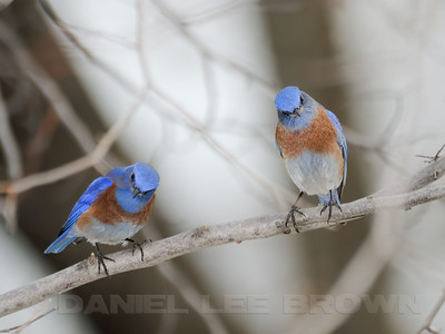 Male Western Bluebirds, Sacramento Co, CA, 12-29-11. Cropped image.