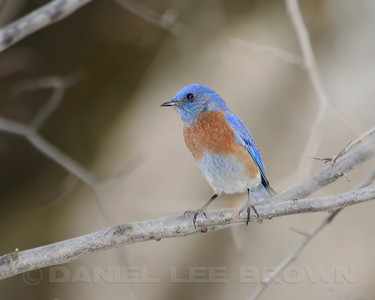 Male Western Bluebird, on our street today! 3 pairs were visiting. Sacramento co, CA. 12-29-11. Slightly cropped image.