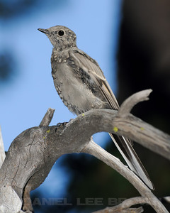 Young Townsend's Solitaire, Wright's Lake, El Dorado Co, CA, 9-4-11. Slightly cropped image.