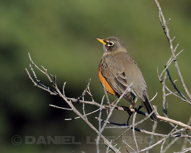 Male American Robin, Sea Ranch, Sonoma Co, CA, 1-16-12. Slightly cropped image.