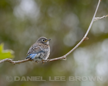 WESTERN BLUEBIRD, juvenile