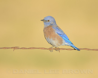 Male Western Bluebird, Stevinson, Merced Co, CA, 10-28-12. Cropped image.