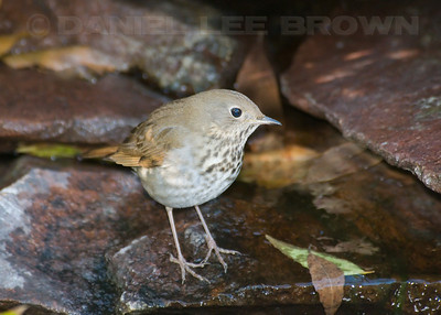 Hermit Thrush at our backyard water feature. 11-8-09.