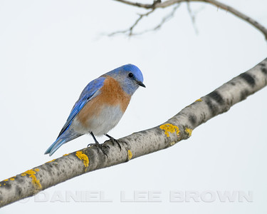 Male Western Bluebird, Sacramento Co, CA, 12-29-11. Cropped image.