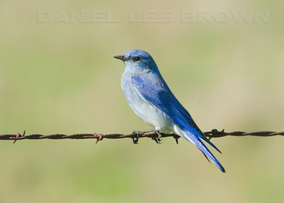 Male Mountain Bluebird. Waverly Rd. San Joaquin co. CA. 1-30-10. This is a cropped images