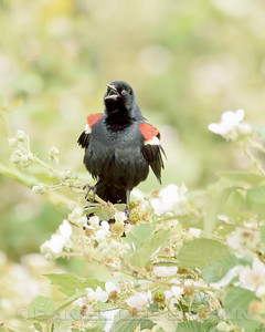 TRICOLORED BLACKBIRD, male