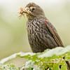 TRICOLORED BLACKBIRD, female
