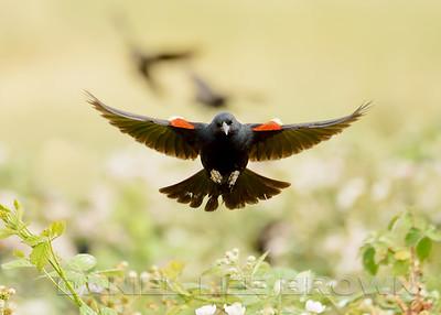 TRICOLORED BLACKBIRD, male