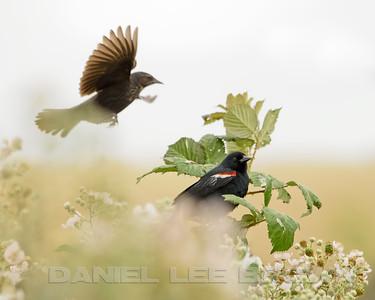TRICOLORED BLACKBIRD, male and female
