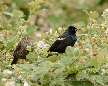 TRICOLORED BLACKBIRD, male and female