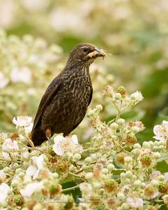 TRICOLORED BLACKBIRD, female