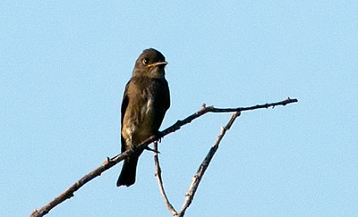 Olive-sided Flycatcher at a distance. First of fall migration.