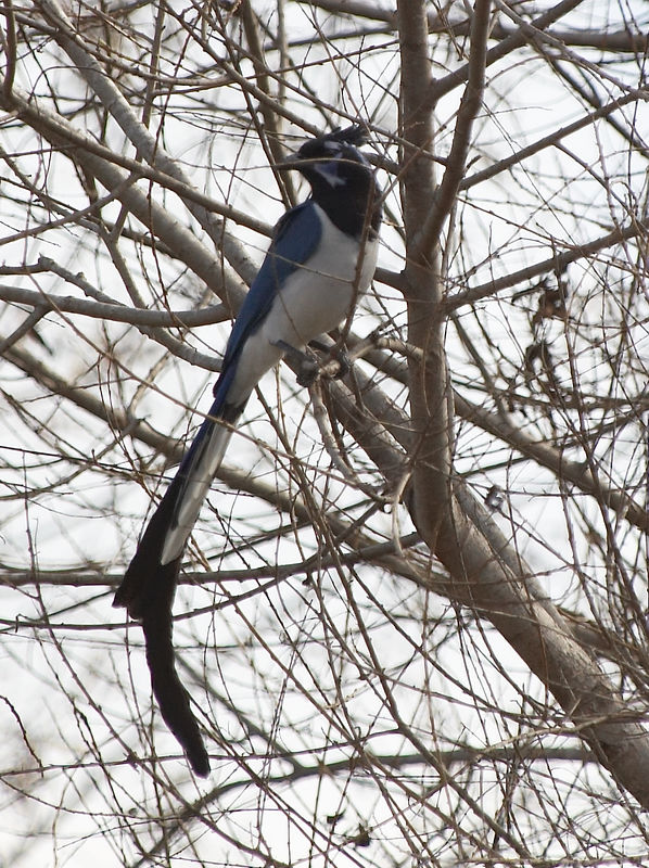 Black-throated Magpie-Jay<br /> <br /> Nikon D70<br /> Focal Length: 340mm<br /> Optimize Image: Custom<br /> Color Mode: Mode Ia (sRGB)<br /> Long Exposure NR: Off<br /> 2006/01/15 11:09:38<br /> Exposure Mode: Aperture Priority<br /> White Balance: Auto<br /> Tone Comp.: Auto<br /> Compressed RAW (12-bit)<br /> Metering Mode: Multi-Pattern<br /> AF Mode: AF-S<br /> Hue Adjustment: -3°<br /> Image Size: Large (3008 x 2000)<br /> 1/1000 sec - F/5<br /> Flash Sync Mode: Not Attached<br /> Saturation: Normal<br /> Exposure Comp.: 0 EV<br /> Sharpening: Normal<br /> Lens: VR 70-200mm F/2.8 G<br /> Sensitivity: ISO 200<br /> Image Comment: Copyright (c) Trent R. Stanley      <br /> [#End of Shooting Data Section]