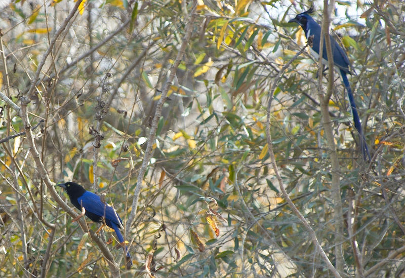 Beechey's Jay & Black-throated Magpie-Jay<br /> <br /> Nikon D70<br /> Focal Length: 340mm<br /> Optimize Image: Custom<br /> Color Mode: Mode Ia (sRGB)<br /> Long Exposure NR: Off<br /> 2006/01/15 11:08:54.7<br /> Exposure Mode: Aperture Priority<br /> White Balance: Auto<br /> Tone Comp.: Auto<br /> Compressed RAW (12-bit)<br /> Metering Mode: Multi-Pattern<br /> AF Mode: AF-S<br /> Hue Adjustment: -3°<br /> Image Size: Large (3008 x 2000)<br /> 1/200 sec - F/5<br /> Flash Sync Mode: Not Attached<br /> Saturation: Normal<br /> Exposure Comp.: 0 EV<br /> Sharpening: Normal<br /> Lens: VR 70-200mm F/2.8 G<br /> Sensitivity: ISO 200<br /> Image Comment: Copyright (c) Trent R. Stanley      <br /> [#End of Shooting Data Section]