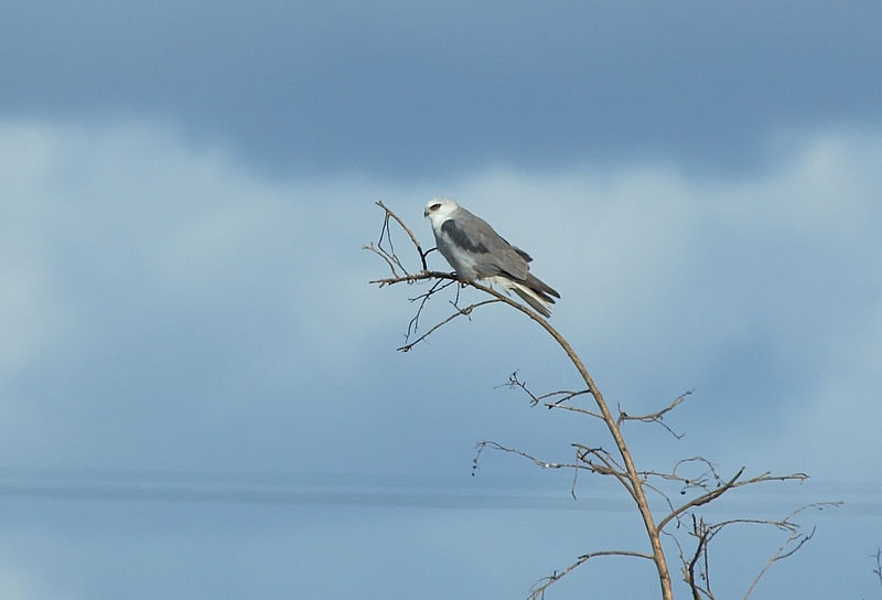 White-tailed Kite<br /> <br /> Nikon D70<br /> Focal Length: 340mm<br /> Optimize Image: Custom<br /> Color Mode: Mode Ia (sRGB)<br /> Long Exposure NR: Off<br /> 2006/01/15 11:54:17.2<br /> Exposure Mode: Aperture Priority<br /> White Balance: Auto<br /> Tone Comp.: Auto<br /> Compressed RAW (12-bit)<br /> Metering Mode: Multi-Pattern<br /> AF Mode: Manual<br /> Hue Adjustment: -3°<br /> Image Size: Large (3008 x 2000)<br /> 1/1000 sec - F/7.1<br /> Flash Sync Mode: Not Attached<br /> Saturation: Normal<br /> Exposure Comp.: 0 EV<br /> Sharpening: Normal<br /> Lens: VR 70-200mm F/2.8 G<br /> Sensitivity: ISO 200<br /> Image Comment: Copyright (c) Trent R. Stanley      <br /> [#End of Shooting Data Section]