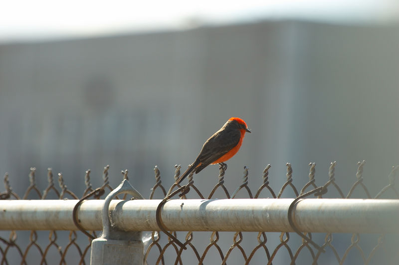 Vermillion Flycatcher @ Nestor Park/School<br /> <br /> Nikon D70<br /> Focal Length: 340mm<br /> Optimize Image: Custom<br /> Color Mode: Mode Ia (sRGB)<br /> Long Exposure NR: Off<br /> 2006/01/15 12:22:52.1<br /> Exposure Mode: Aperture Priority<br /> White Balance: Auto<br /> Tone Comp.: Auto<br /> Compressed RAW (12-bit)<br /> Metering Mode: Multi-Pattern<br /> AF Mode: AF-S<br /> Hue Adjustment: -3°<br /> Image Size: Large (3008 x 2000)<br /> 1/320 sec - F/7.1<br /> Flash Sync Mode: Not Attached<br /> Saturation: Normal<br /> Exposure Comp.: 0 EV<br /> Sharpening: Normal<br /> Lens: VR 70-200mm F/2.8 G<br /> Sensitivity: ISO 200<br /> Image Comment: Copyright (c) Trent R. Stanley      <br /> [#End of Shooting Data Section]