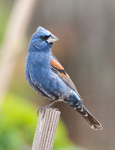 Blue Grosbeak @ Community Garden