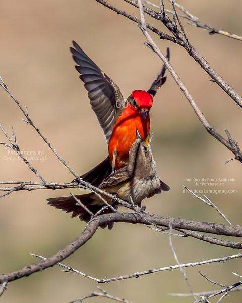 Vermilion Flycatcher Courtship