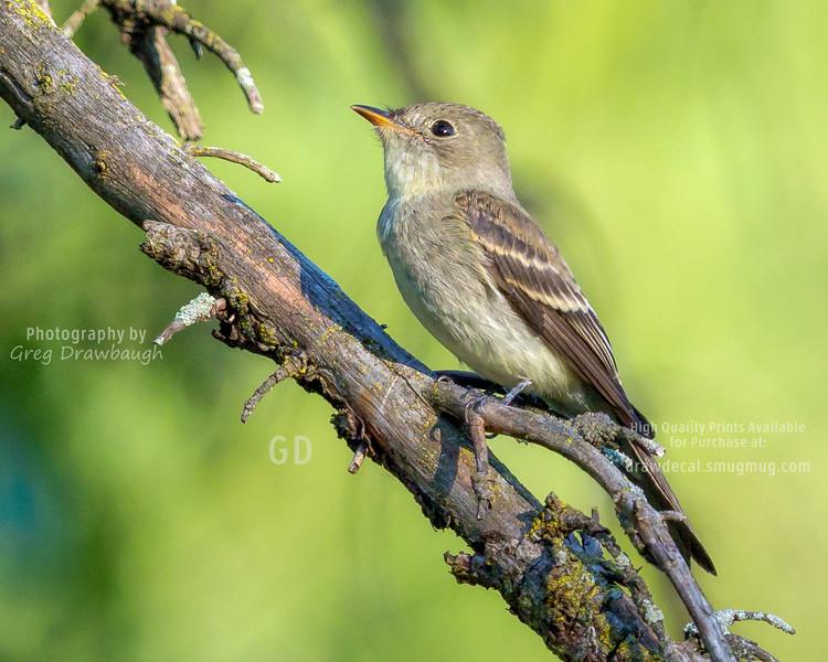 Alder / Willow Flycatcher