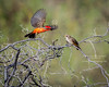 Vermilion Flycatcher Courtship