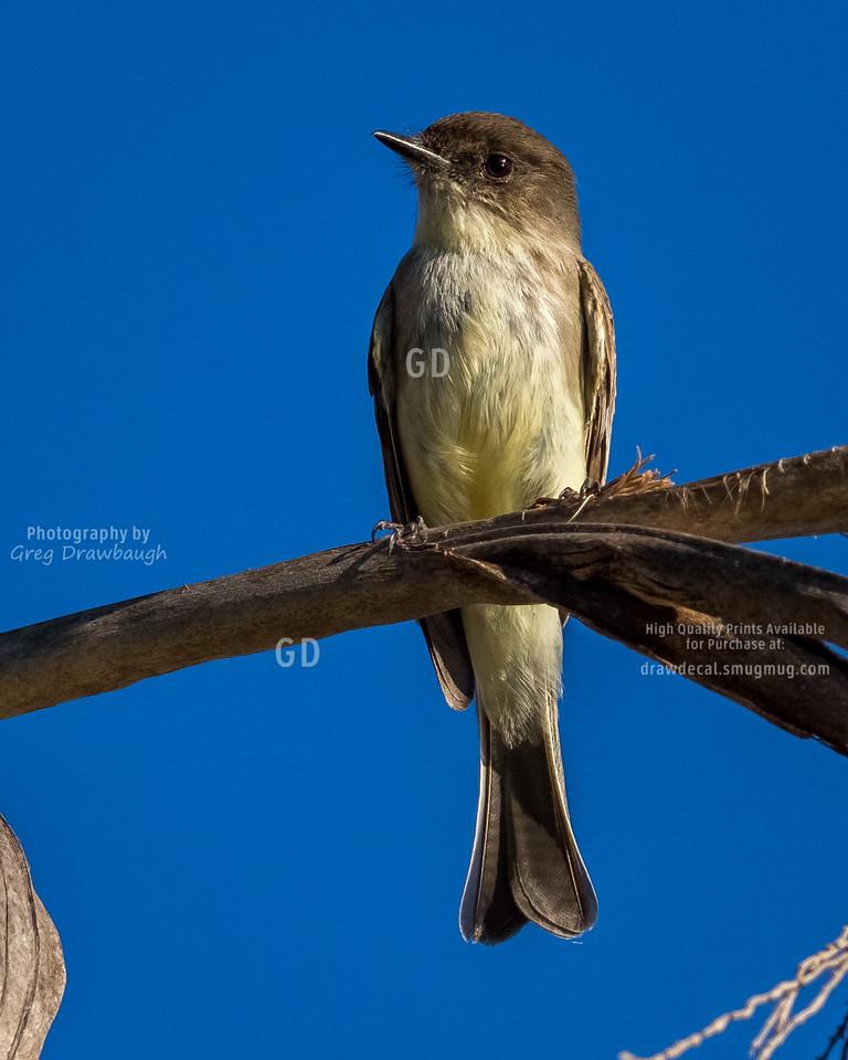 Least Flycatcher