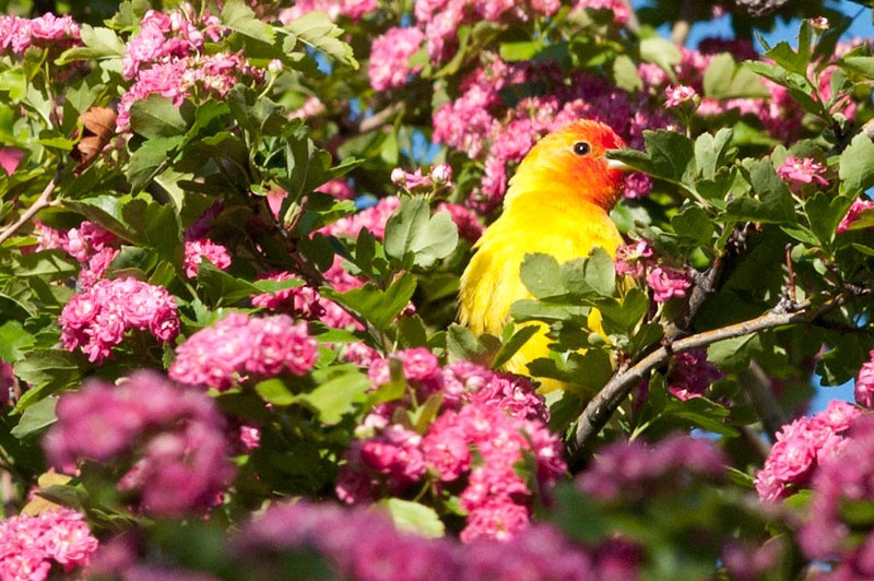 Western Tanager eating Hawthorn flowers at Malheur NWR.