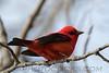 Scarlet Tanager (b2324)