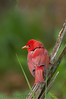 Summer Tanager (b2334)