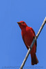 Summer Tanager (b2332)