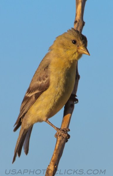 Western Tanager (b2341)