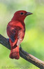 Summer Tanager (b2331)