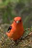 Scarlet Tanager (b2325)