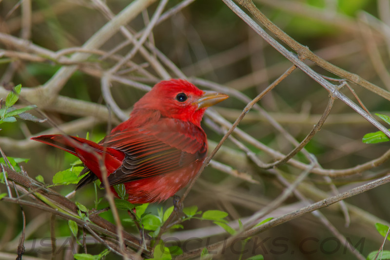 Summer Tanager (b2333)