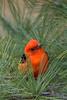 Scarlet Tanager (b2327)
