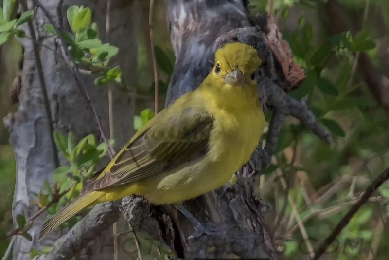 Scarlet Tanager (b2326)