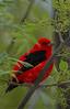 Scarlet Tanager (b2321)