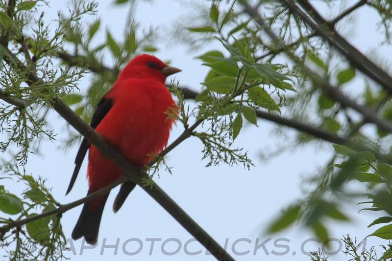 Scarlet Tanager (b2323)