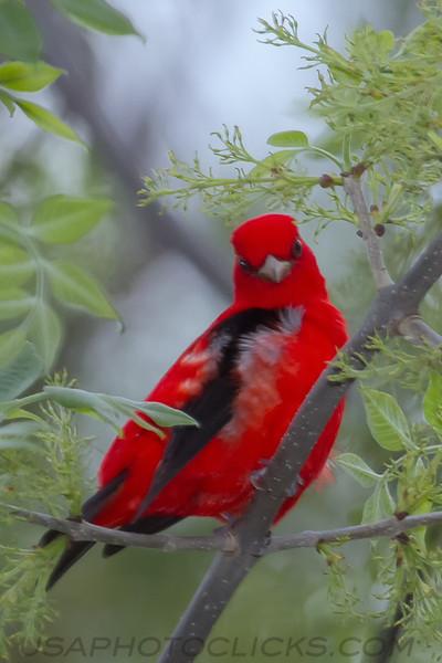 Scarlet Tanager (b2322)