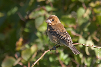 Blue Grosbeak in Cape May, NJ - October 2007
