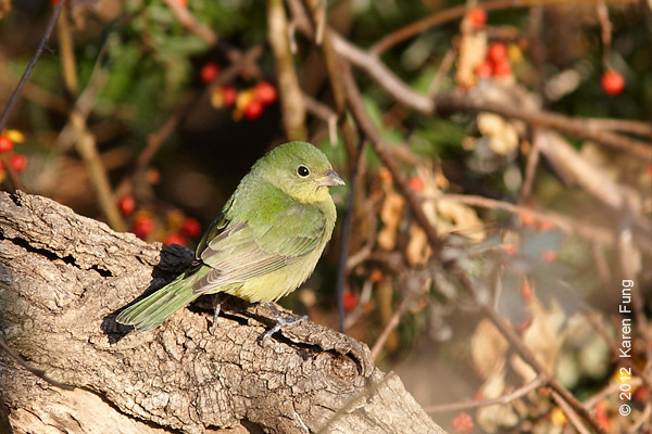 26 November Female Painted Bunting at Alley Pond Park