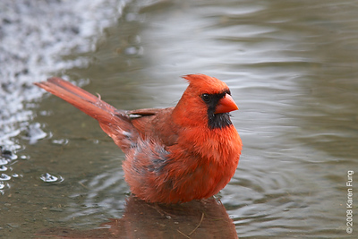 June 22nd: Northern Cardinal bathing in a puddle in Piermont, NY