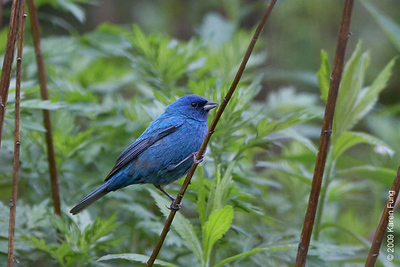 24 May: Indigo Bunting in Orange County, NY